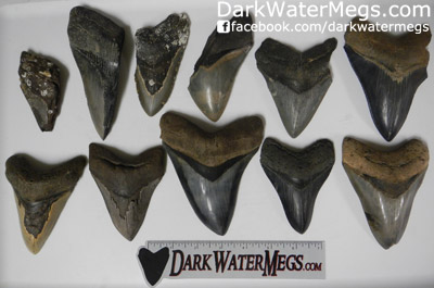 Wholesale Megalodon Tooth Grades